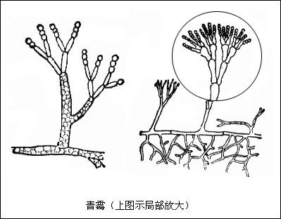 青霉结构手绘图