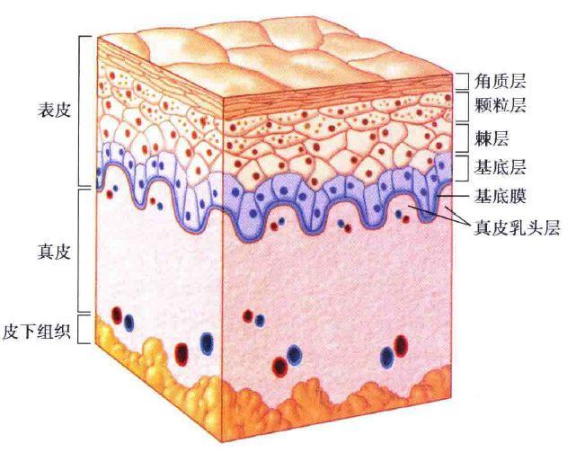 皮肤三层次结构图