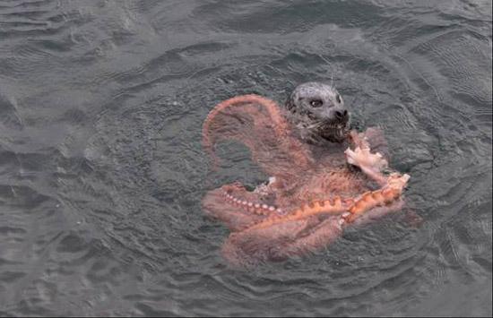 海豹活吞巨型蝴蝶,血搏十多分钟下肚歌曲蛰章鱼图片