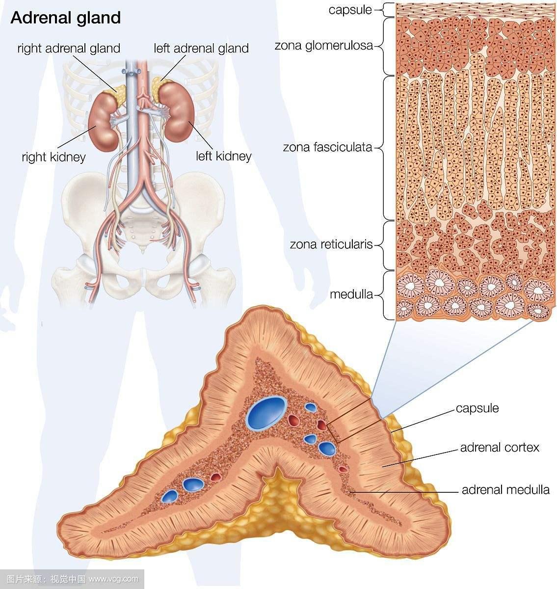 肾上腺位置.jpg